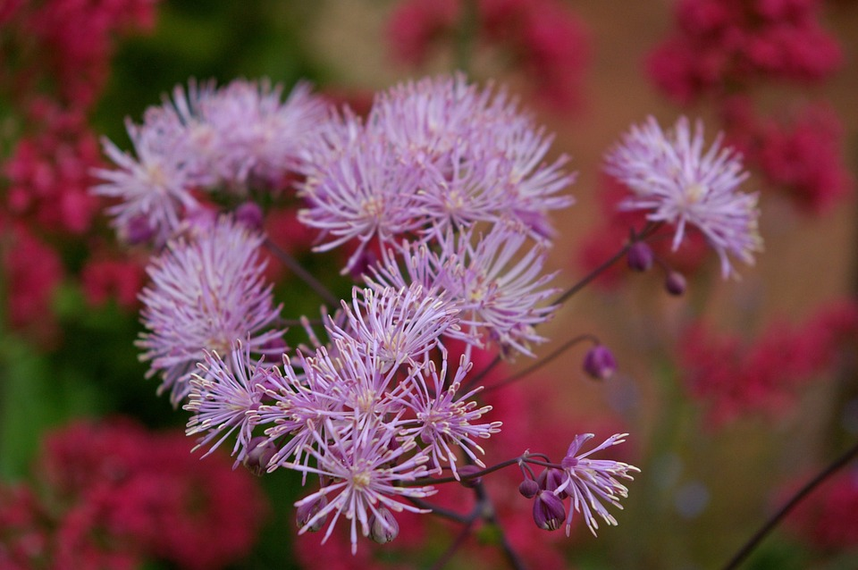 Columbine, Blossom, Bloom, Flower, Purple