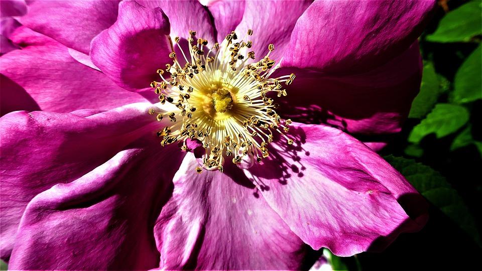Purple Flower, Summer, Bloom, Pink