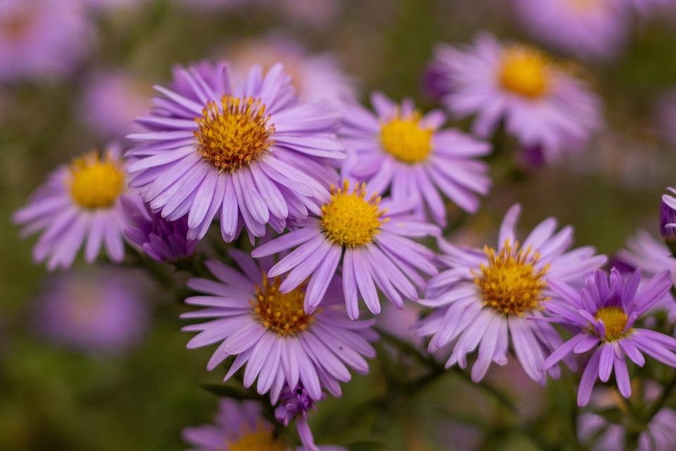 Asters, Flowers, Bloom, Blossom, Purple Flowers