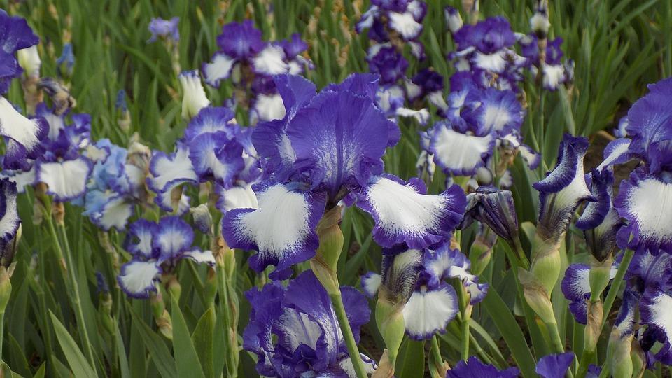 Irises, Flowers, Bloom, Purple Iris, Summer