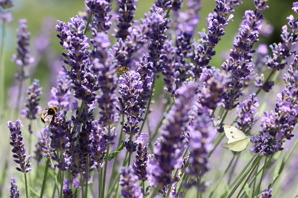 Lavender, Flowers, Purple, Bloom, Insect, White