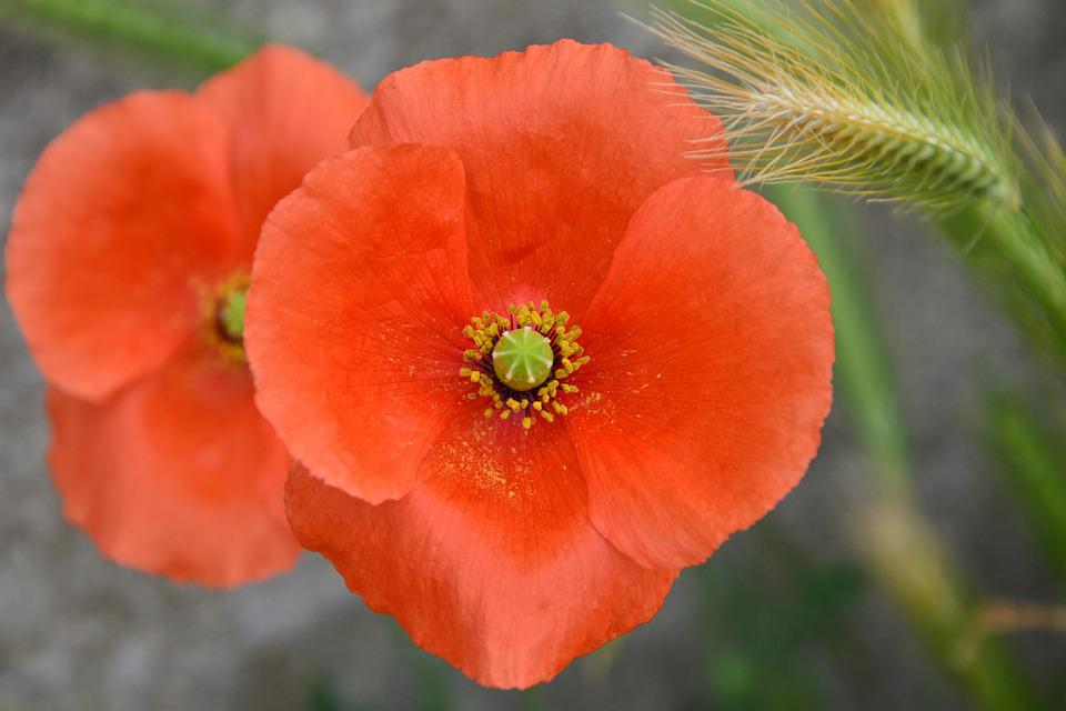 Poppy, Blossom, Bloom, Red, Wild Flowers, Poppy Flower