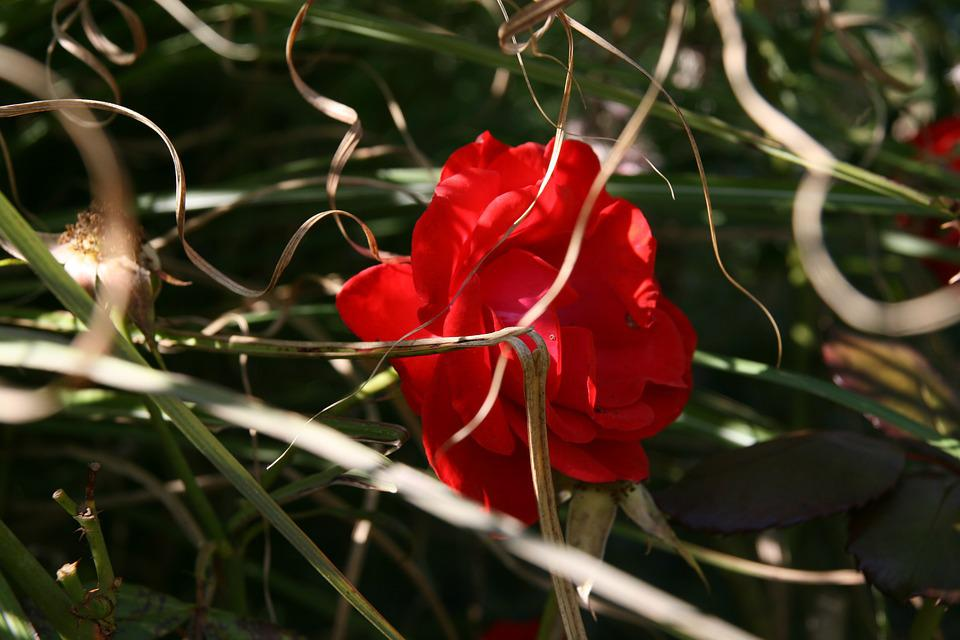 Rose, Red, Blossom, Bloom, Grass, Dry