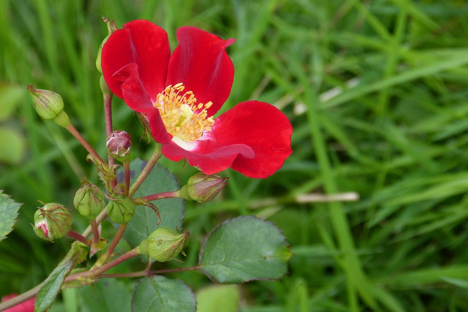 Rose, Blossom, Bloom, Bud, Red Meidiland, Plant, Bloom