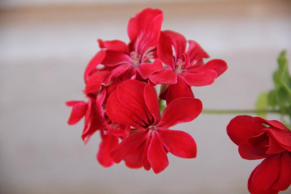 Flowers, Red Flowers, Petals, Red Petals, Bloom