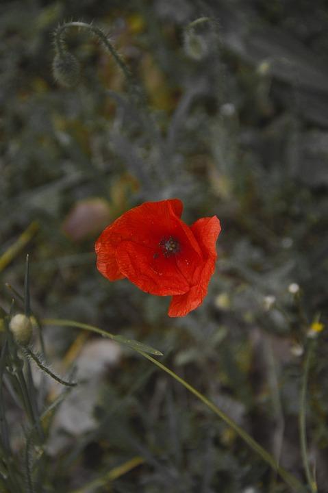 Poppy, Red, Flower, Plant, Bloom, Blossom, Flora