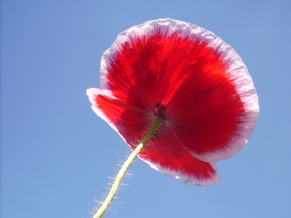Poppy, Blossom, Bloom, Red, Flower