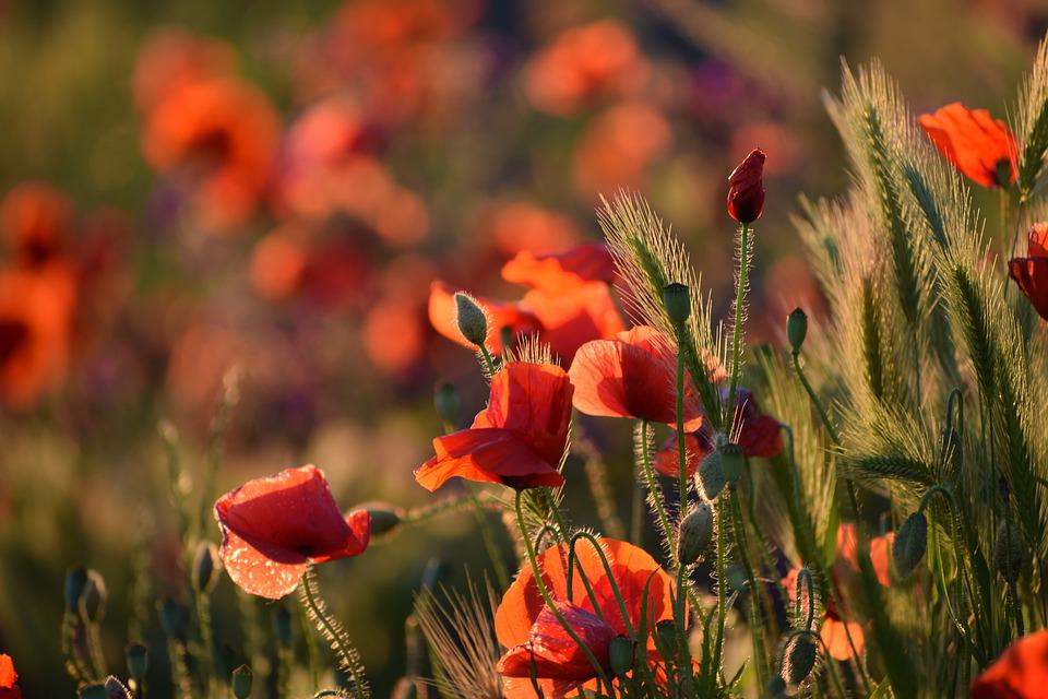 Red Poppy, Evening, Sunset, Bloom, Golden Hour, Flower