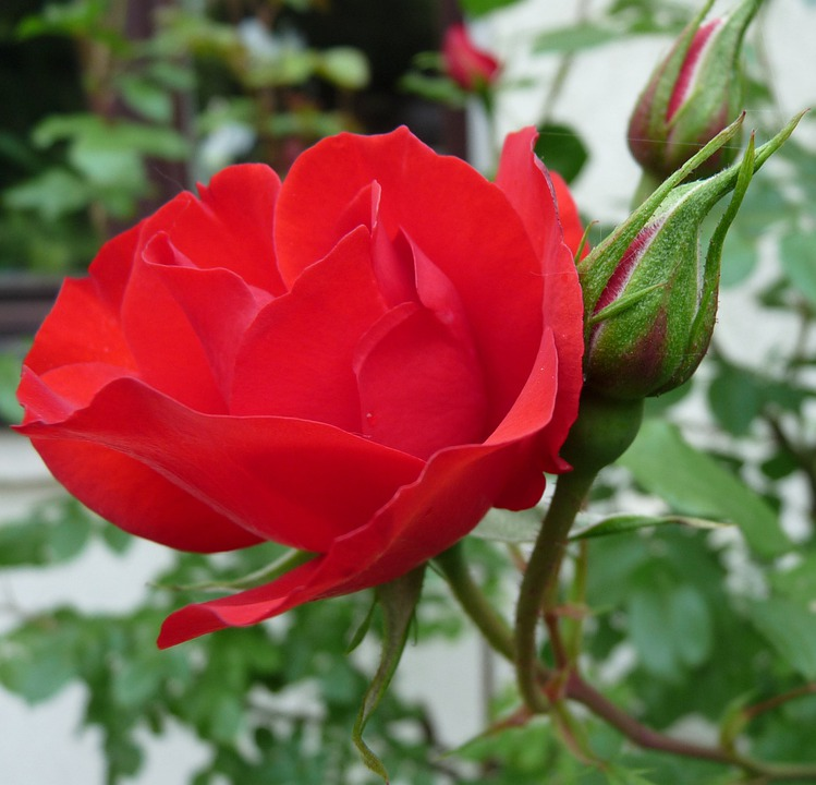 Rose, Red, Blossom, Bloom, Garden
