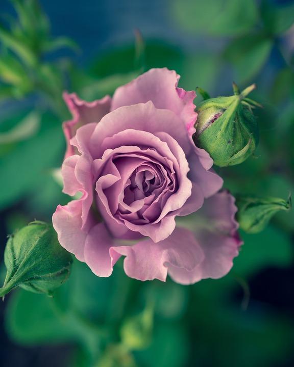 Rose, Flower, Nature, Bloom, Blossom, Love, Romantic
