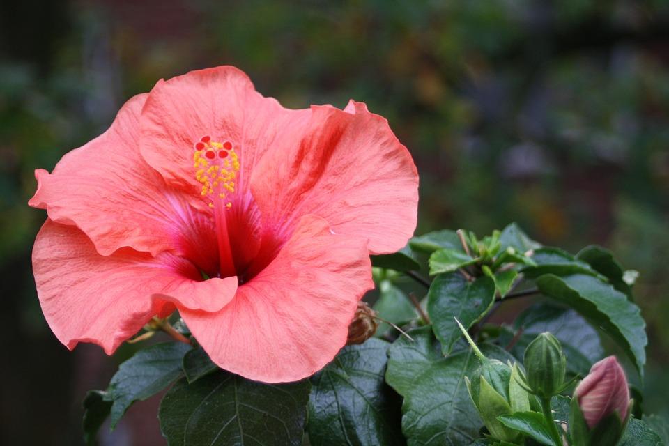 Hibiscus, Flower, Blossom, Bloom, Room Hibiscus, Plant