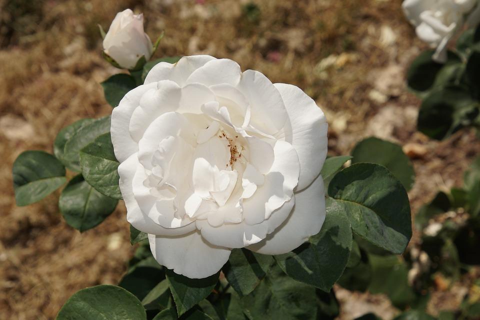 Rose, Blossom, Bloom, Close, Bianca, Rosaceae, Red
