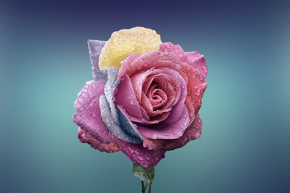 Rose, Beautiful, Beauty, Bloom, Blooming, Blossom