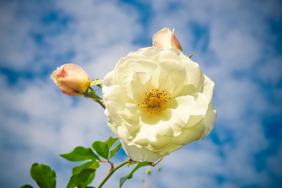 Flower, Rose, Blossom, Bloom, Nature, Plant, Love