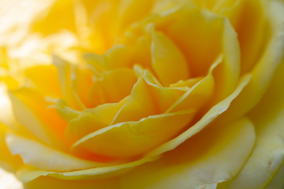 Rose, Blossom, Bloom, Yellow, Nature, Rose Bloom
