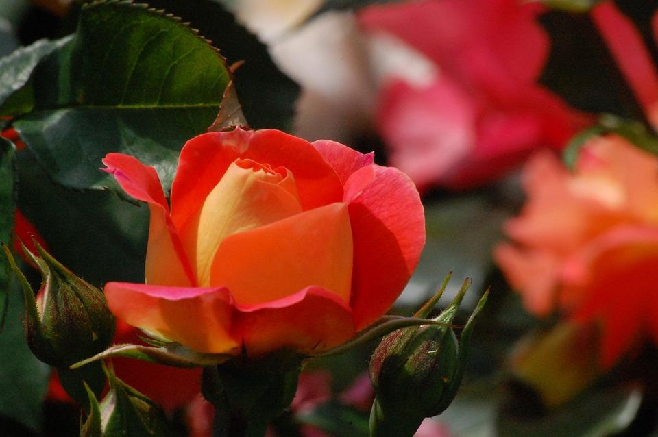 Rose, Flower, Plant, Petals, Buds, Bloom, Leaves