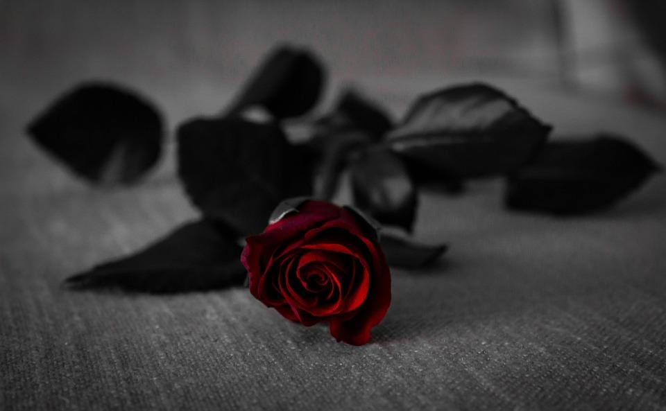 Bloom, Blossom, Flora, Flower, Rose