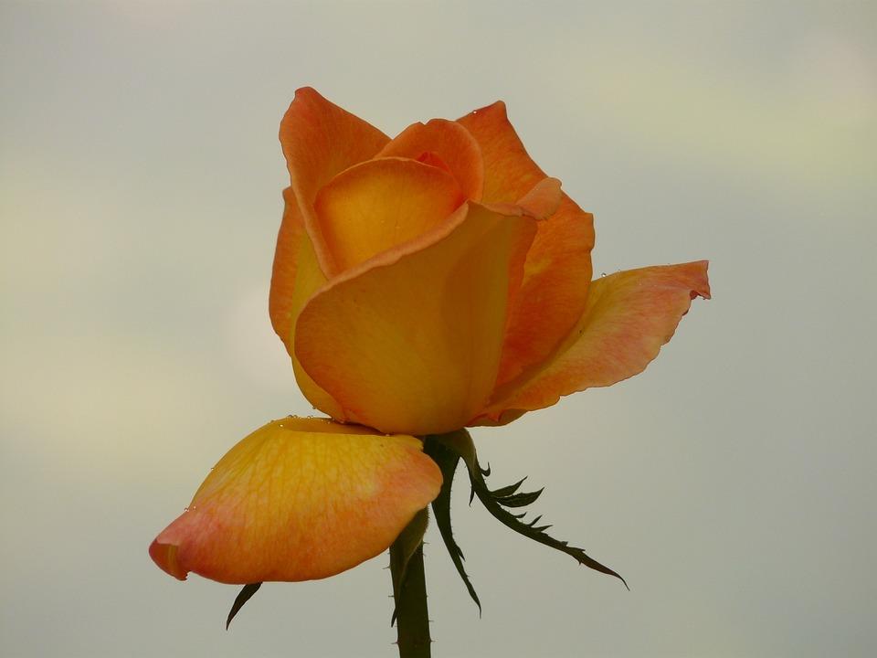 Flower, Nature, Plant, Blossom, Bloom, Rose, Fragrance