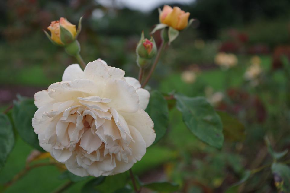 Rose, Flower, Floral, Garden, Nature, Bloom, Blossom