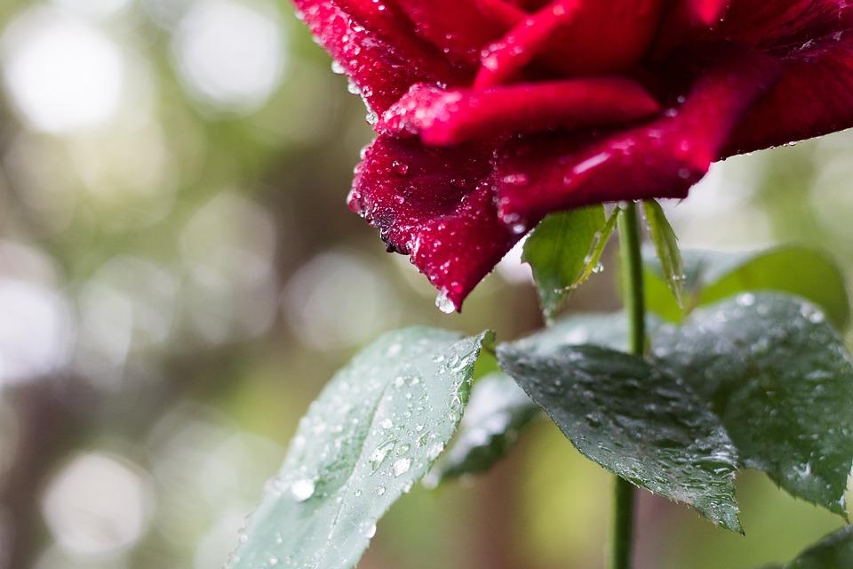 Rose, Red, Blossom, Bloom, Romantic, Garden, Flowers