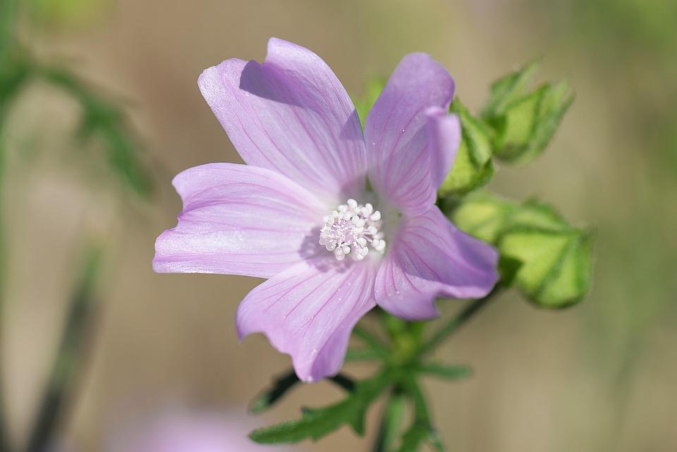 Mallow, Rose Mallow, Wild Flower, Blossom, Bloom