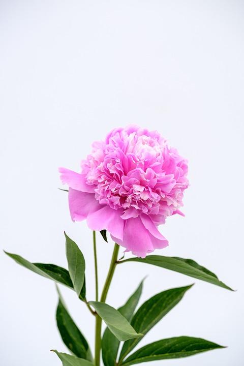 Peony, Rose, Pentecost, Blossom, Bloom, Flower, Spring