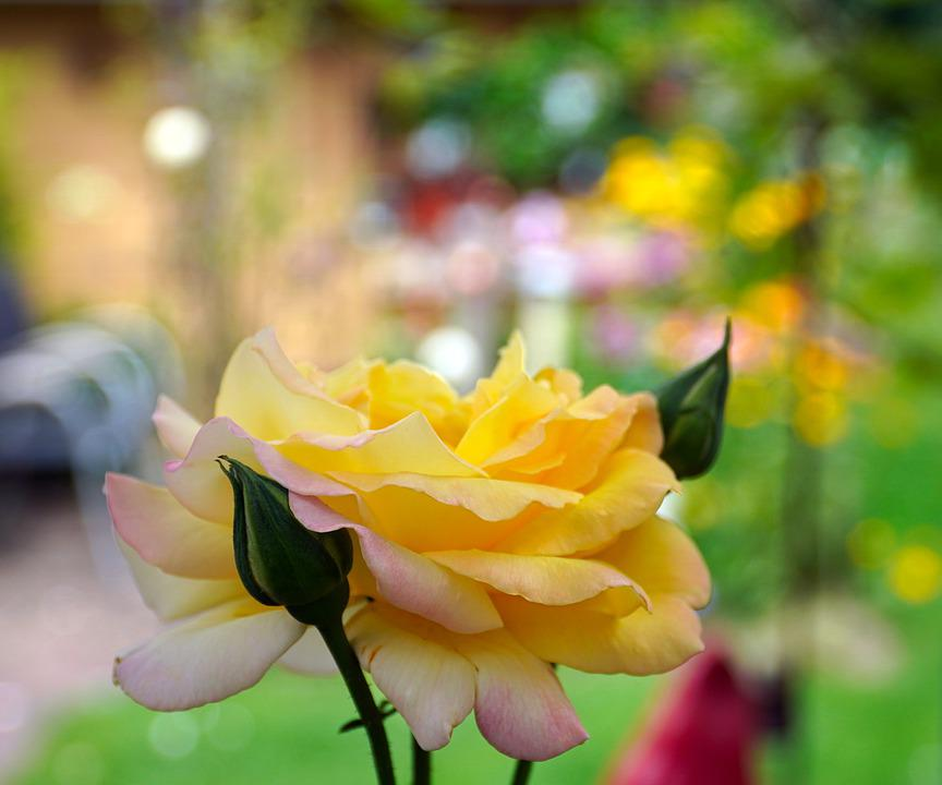 Rose, Yellow, Blossom, Bloom, Nature, Rose Bloom