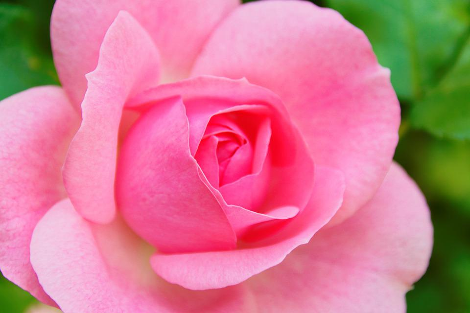 Rose, Flower, Blossom, Bloom, Rose Bloom, Pink, Nature