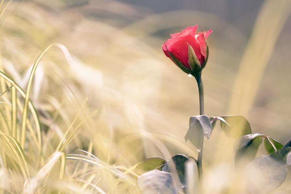 Rose, Flower, Rosebud, Rose Bloom, Blossom, Bloom