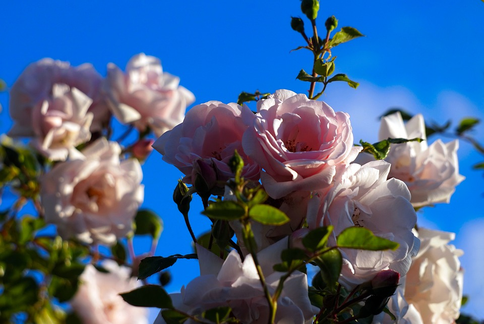Roses, Pink, Blossom, Bloom, Flowers, Nature, Flora
