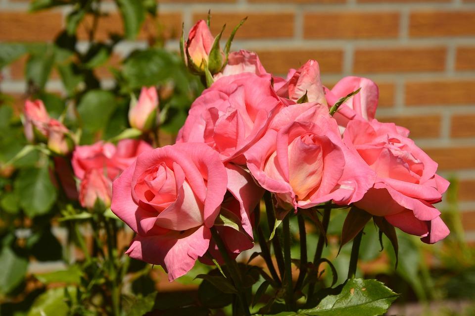 Roses, Rose Bloom, Blossom, Bloom, Bloom, Bud, Rose Bud