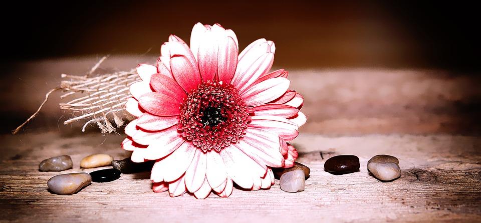 Gerbera, Flower, Blossom, Bloom, Schnittblume, Pink