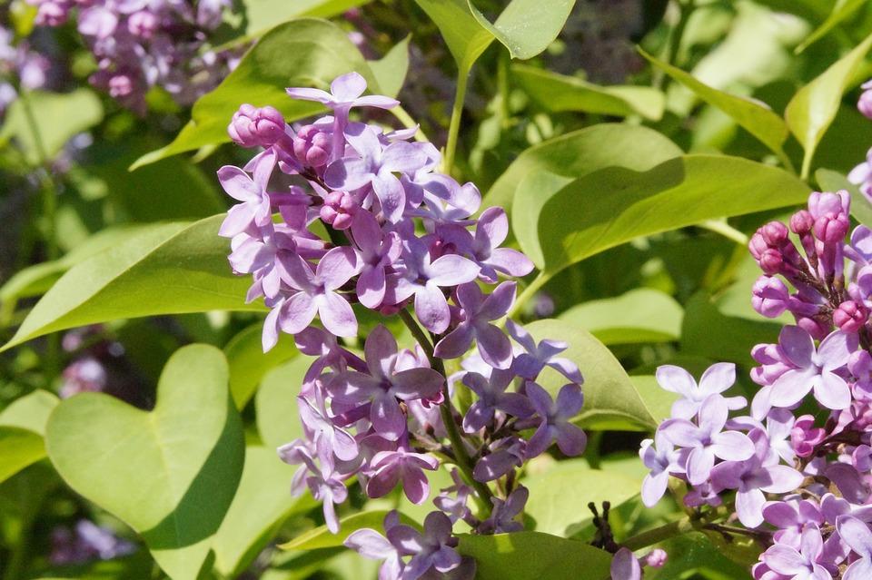 Lilac, Bush, Lilac Bush, Blossom, Bloom, Bloom, Sky