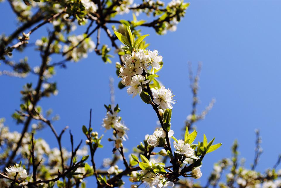 Spring, Blossom, Bloom, Apple Tree, Season, Sky