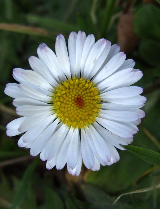 Marie Flower, Daisy, Small, Blossom, Bloom, White, Joy