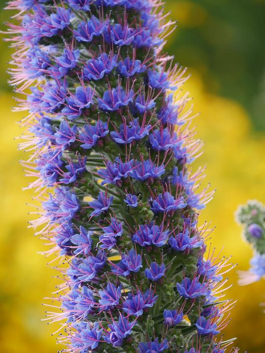 Madeira, Arieiro, Snake Head, Blossom, Bloom, Flower