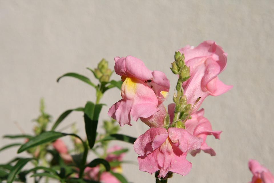 Snapdragon, Loewenmaeulchen, Blossom, Bloom