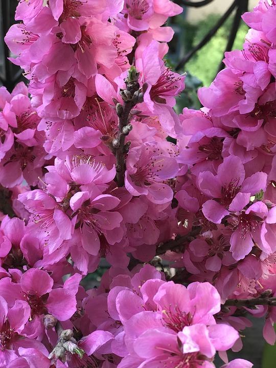 Flowers, Magenta, Pink, Spring, Nature, Blossom, Bloom