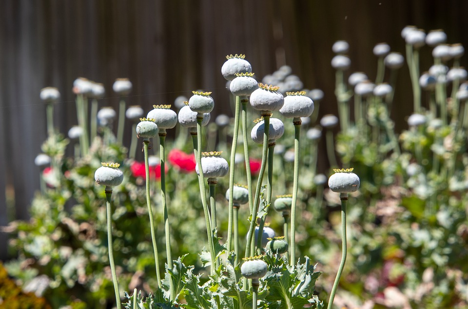 Poppy Flowers, Bloom, Plants, Spring, Botany