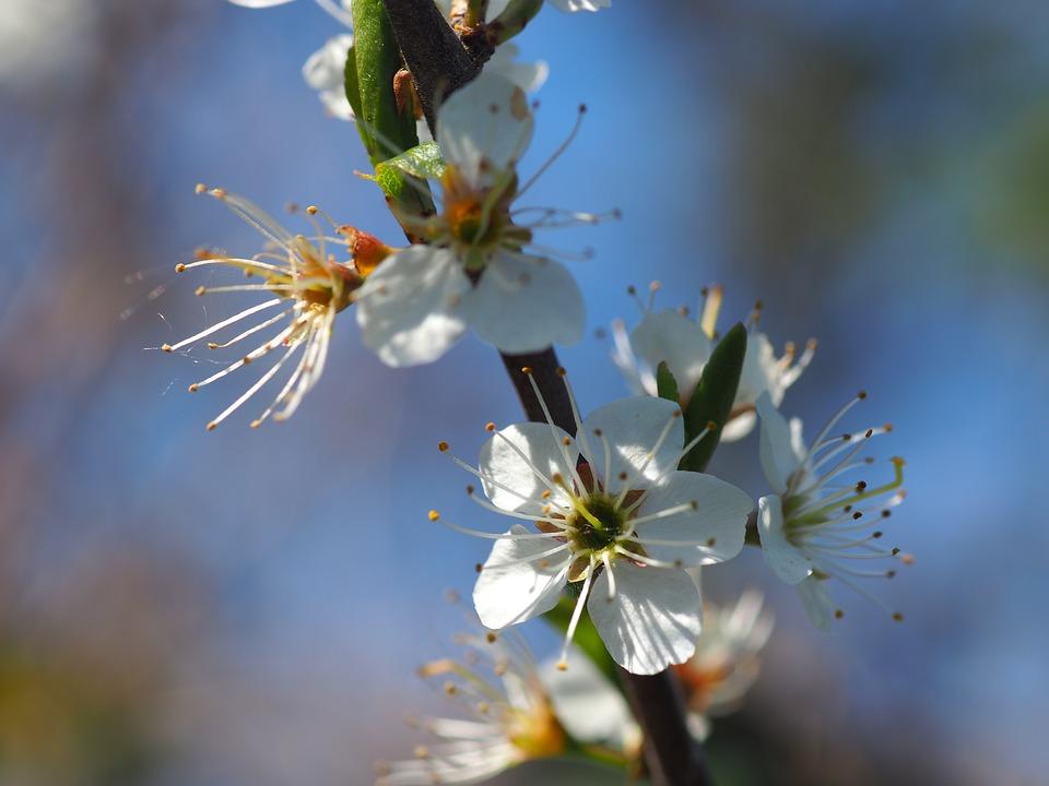 Hawthorn, Spring, Bush, Branch, Bloom, Weissdorn, Flora