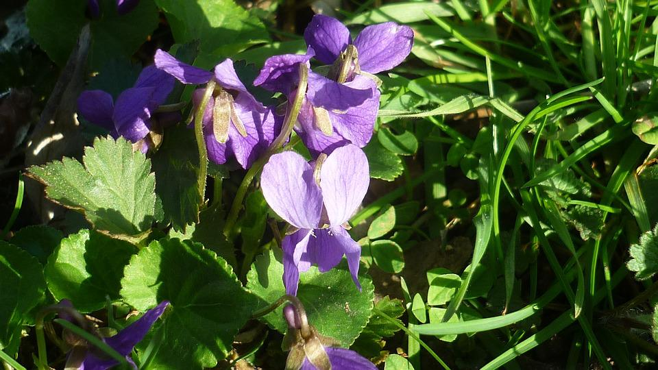 Spring Flower, Violet, Blue, Blossom, Bloom