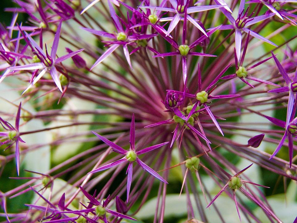 Ornamental Onion, Blossom, Bloom, Plant, Flower, Spring