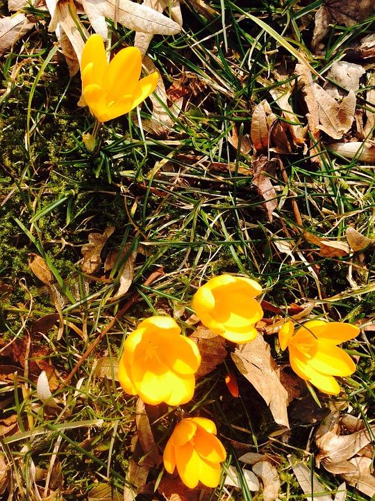 Crocus, Flower, Yellow, Spring, Bloom