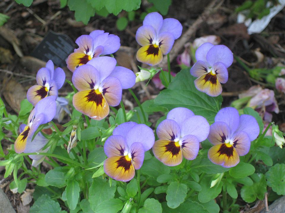 Pansy, Group, Clump, Purple, Flower, Bloom, Spring