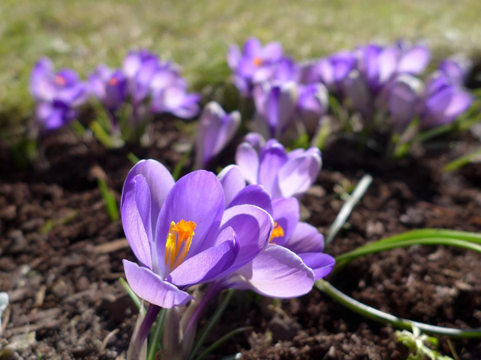 Crocus, Spring, Purple, Blossom, Bloom, Spring Flower