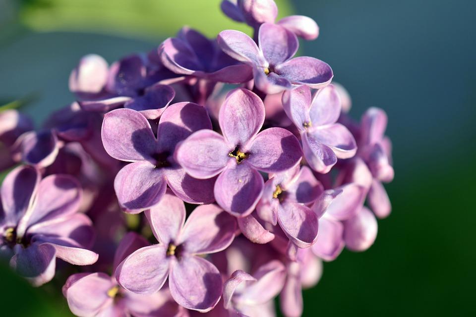Lilac, Flower, Spring, Bloom, Nature, Violet, Pink