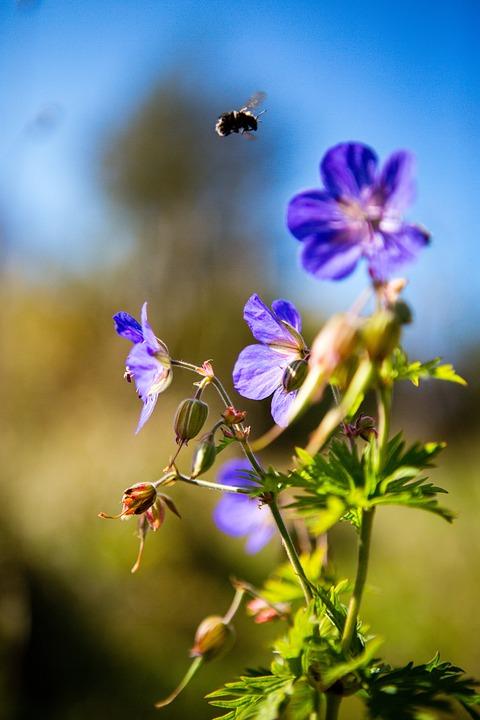 Wild Flower, Meadow, Blue, Summer, Autumn, Bloom
