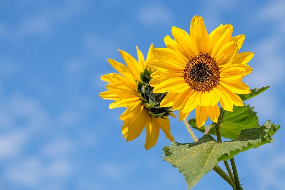Sunflower, Flower, Summer, Blossom, Bloom, Sky, Clouds