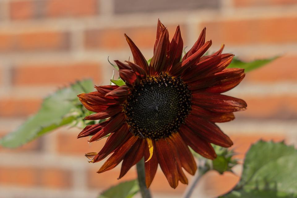 Red Sunflower, Flower, Nice, Red, Bloom, Floral, Summer