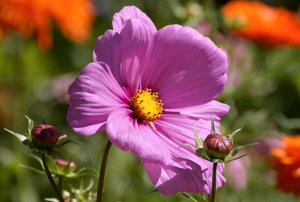 Cosmea, Blossom, Bloom, Flower, Plant, Nature, Summer